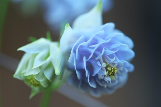 実生で育てた八重咲きオダマキ-01