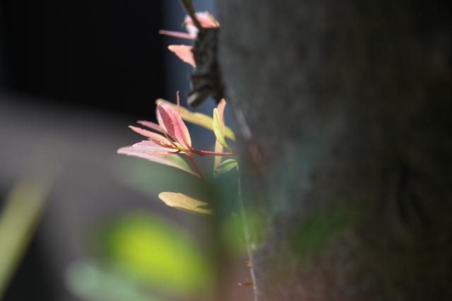 ヤマモモの胴吹きの新芽-01