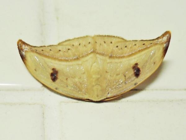 ギンモンカギバ