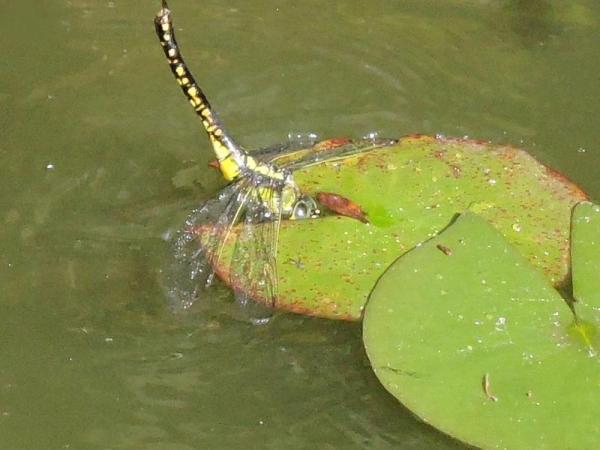濡れてしまった雌のクロスジギンヤンマ。
