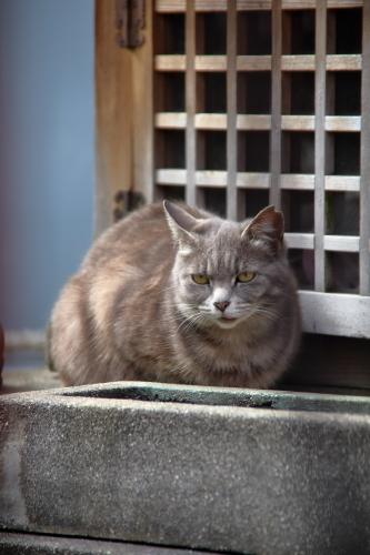 神社グレー猫