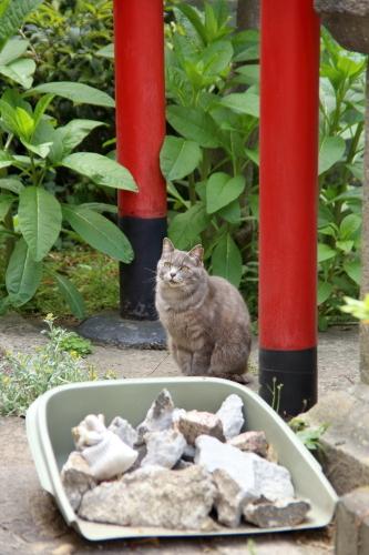 神社グレー猫2