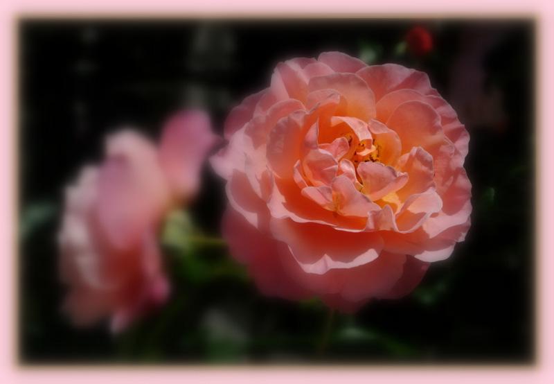 Rose, Umilo France Meilland 1996