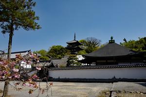 2017當麻寺の牡丹