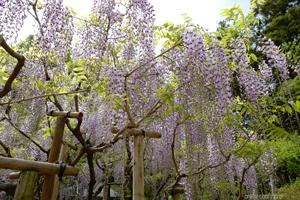 2017萬葉植物園の藤