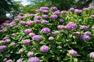 なばなの里2017紫陽花と菖蒲