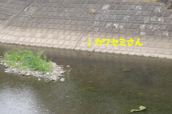 170612 カワセミ09
