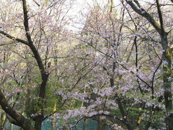 223幸せという名の桜色