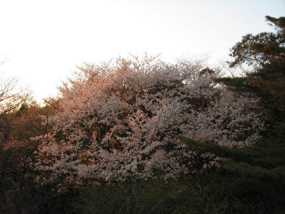 223桜の紅と夕日の紅と