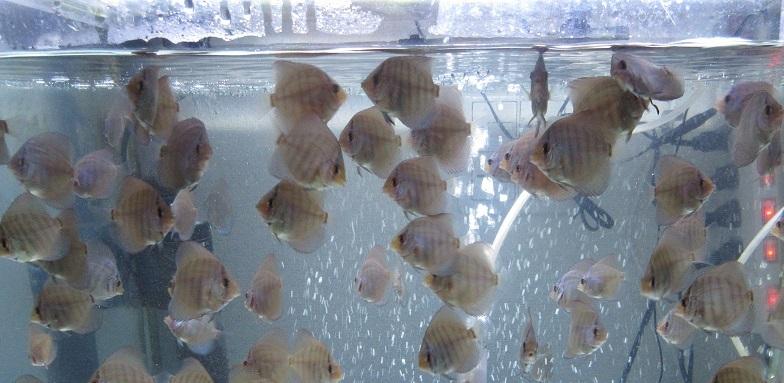 Pセルーリア幼魚 0504