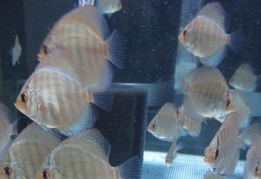 Pセルーリア幼魚