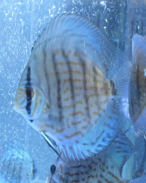 BV7R幼魚