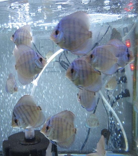 Pセルーリア幼魚 (2)