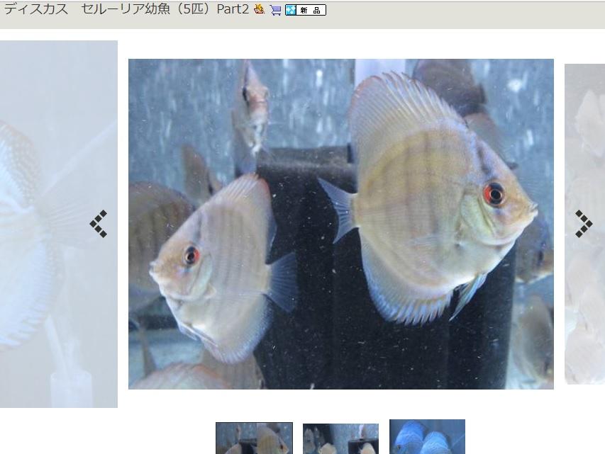 セルーリア幼魚ヤフオク出品