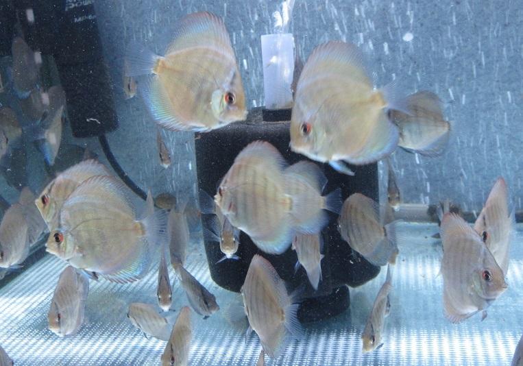 プレミアムトラディショナルセルーリア幼魚