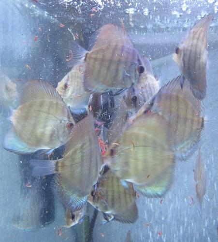 セルーリア幼魚 少~し小振り 2