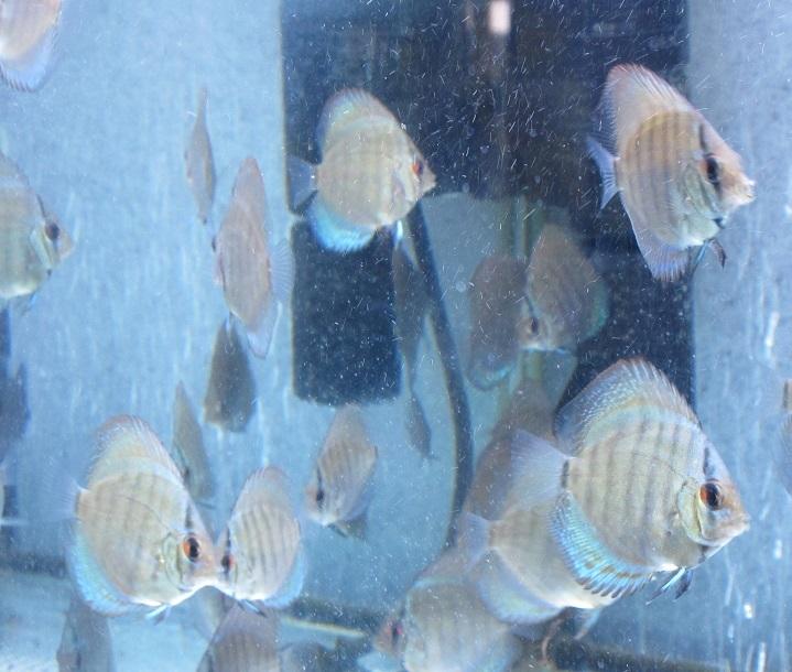 セルーリア幼魚 少~し小振り 1