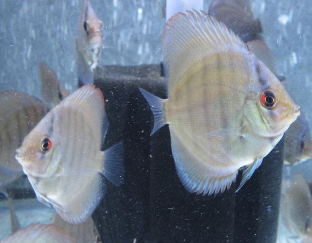 セルーリア幼魚ヤフオク掲載画像1