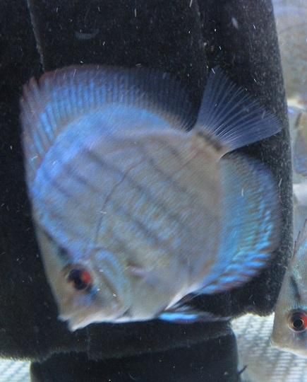 Pセルーリア幼魚 1
