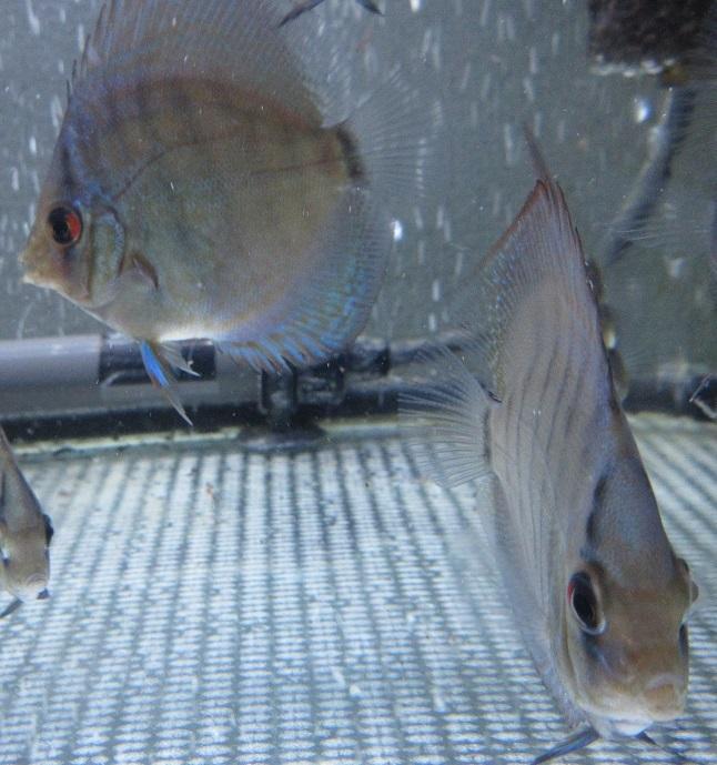 Pセルーリア幼魚 2