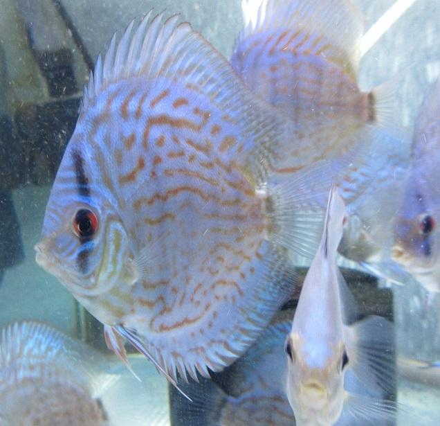 新Bi JWS若魚4