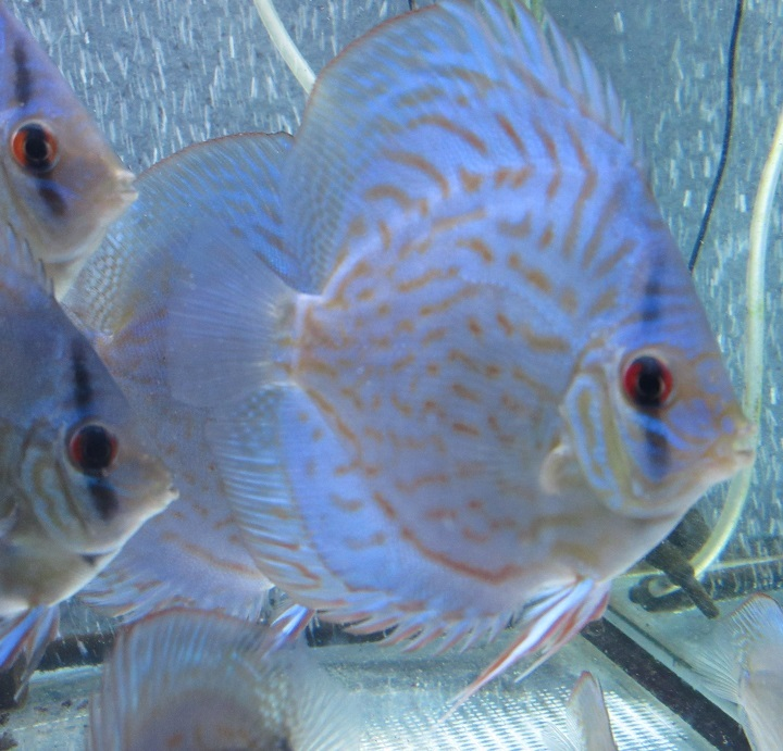 新Bi JWS若魚6