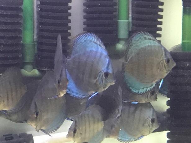 Pセルーリア幼魚4