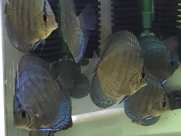 Pセルーリア幼魚3