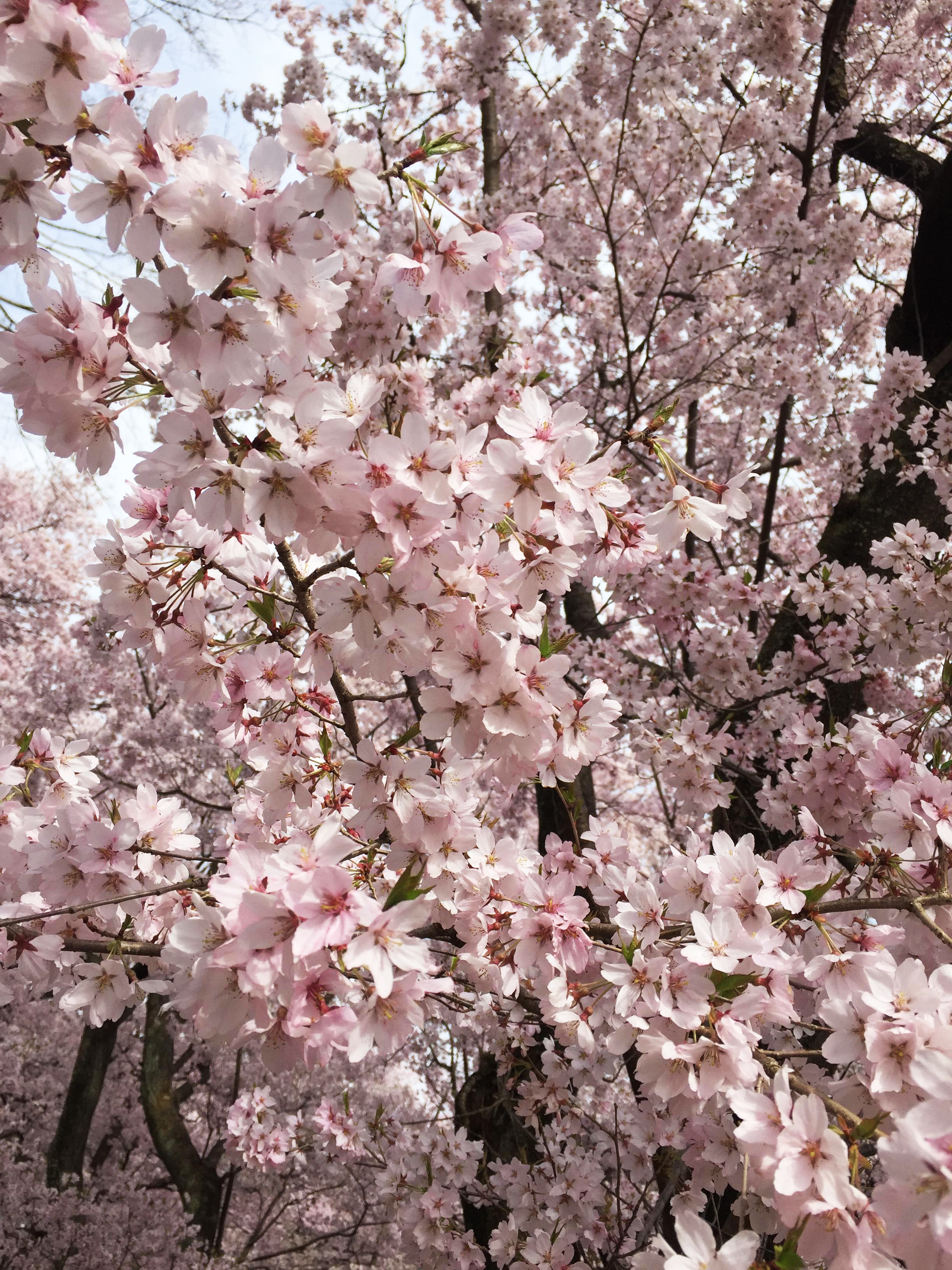 1704高遠桜01
