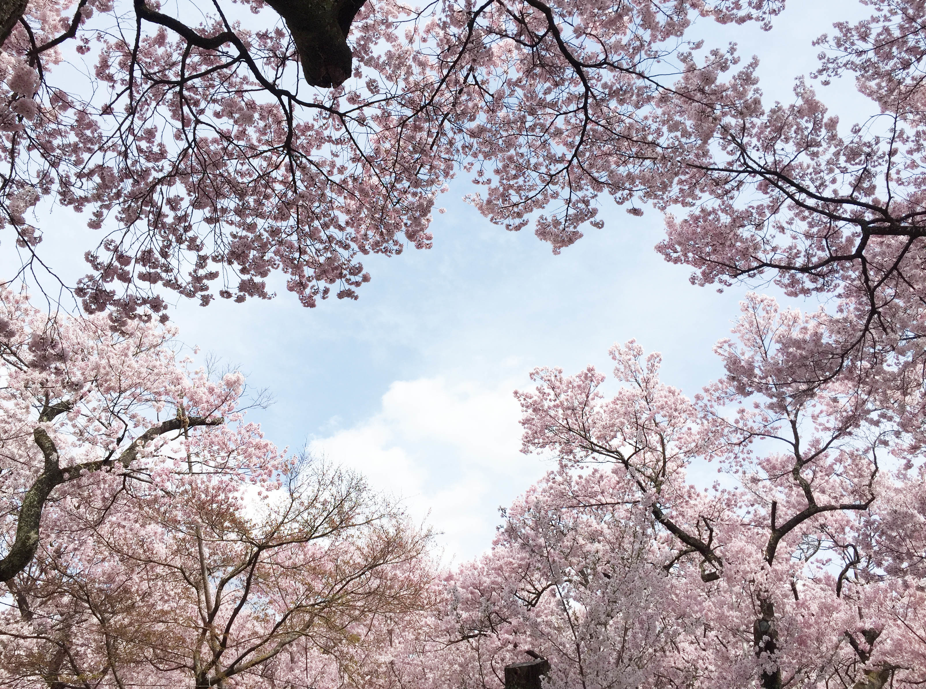 1704桜に囲まれた空