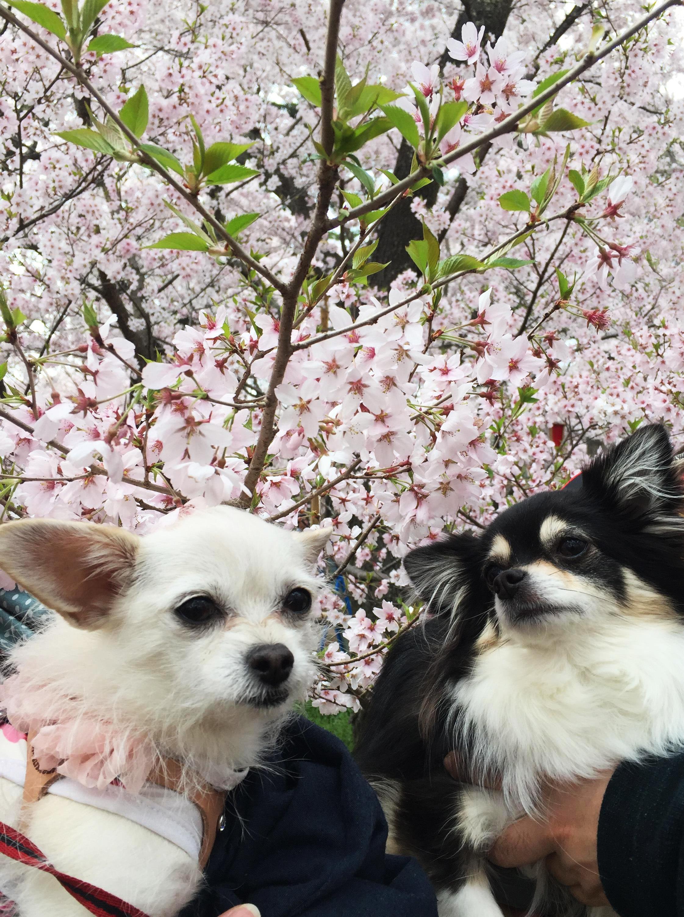 1704桜と姉妹2_01