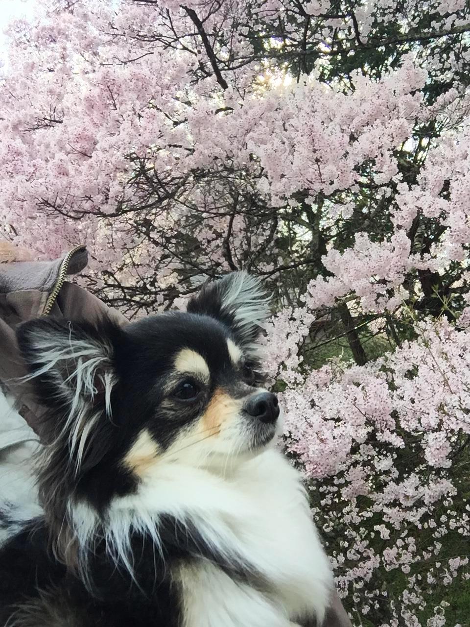 1704桜とあん03_3