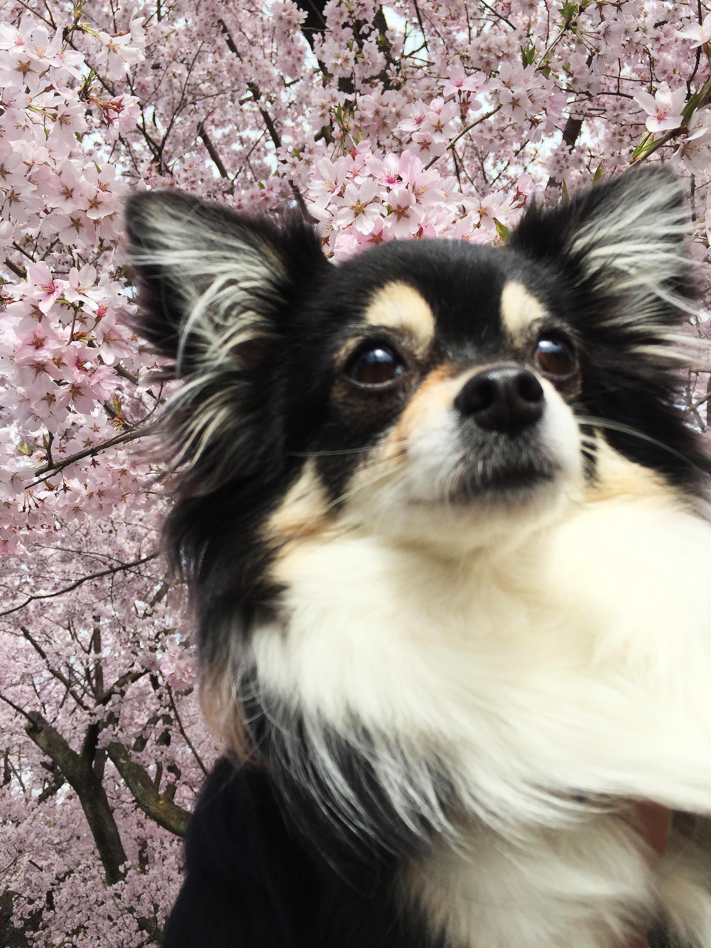1704桜とあん01_3
