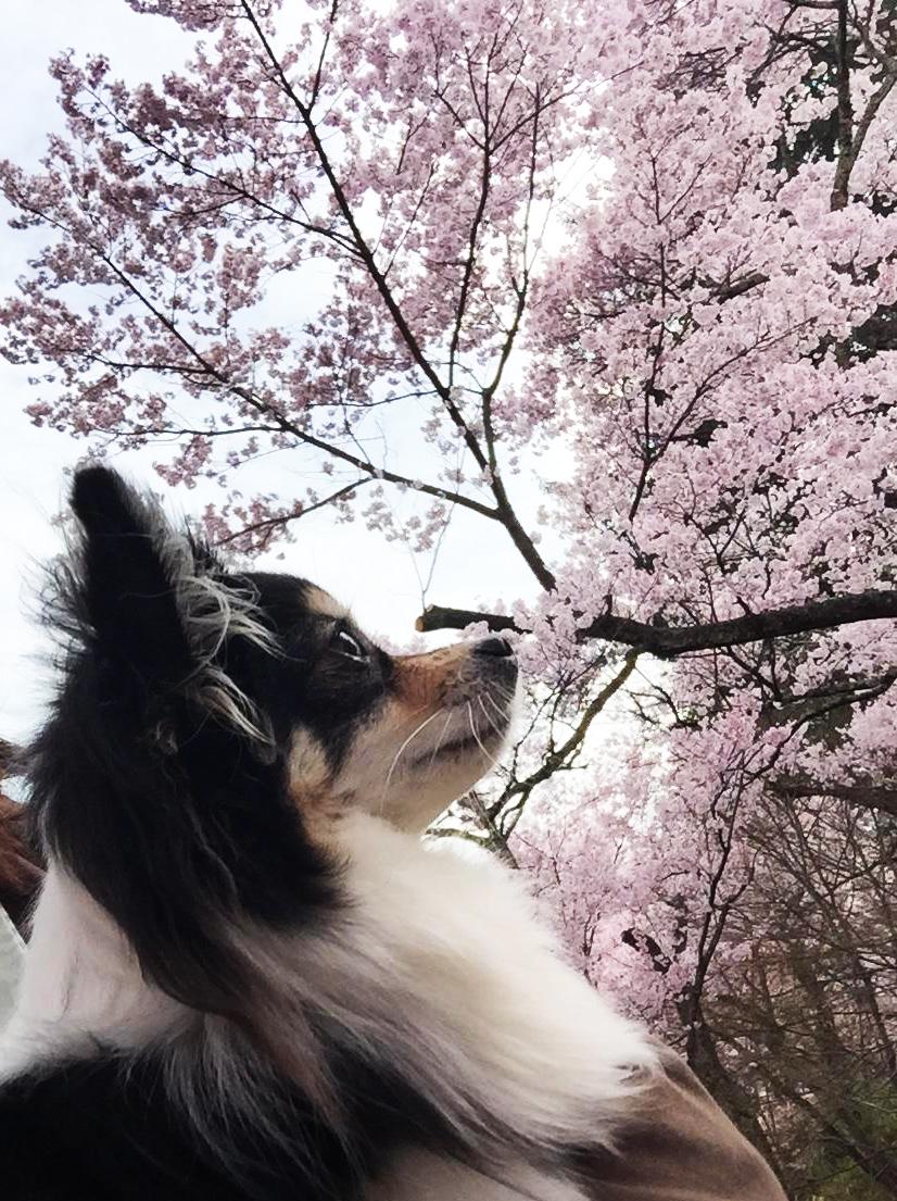 1704桜とあん02_3