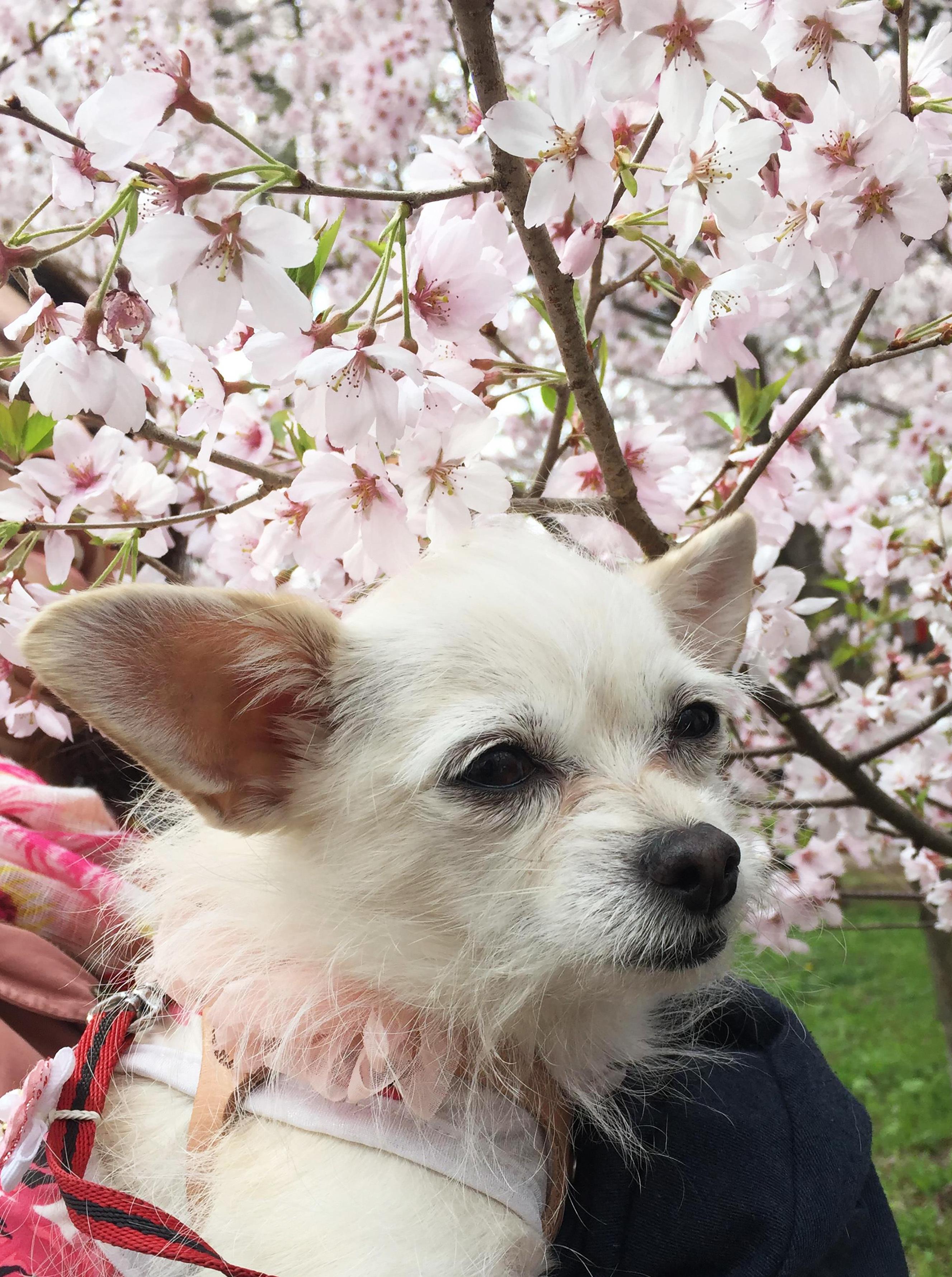 1704桜とこゆき01_3