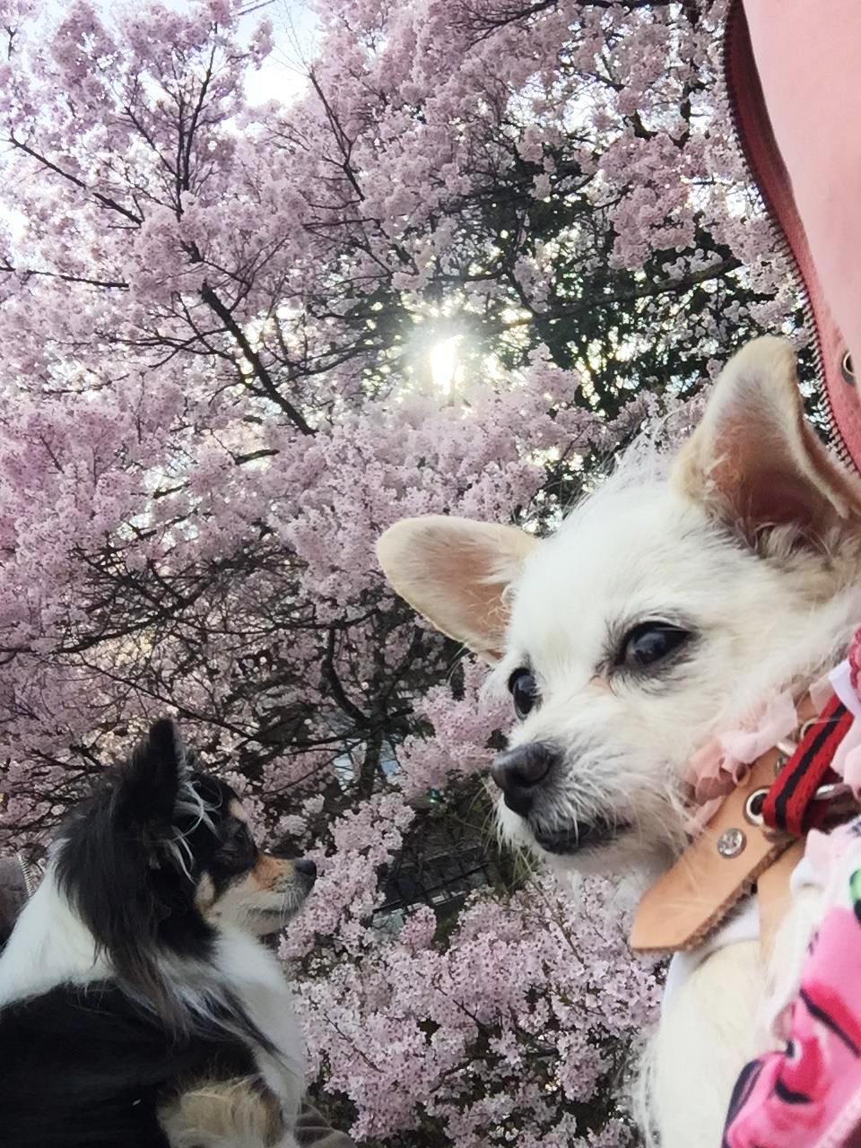 1706桜と姉妹01_3