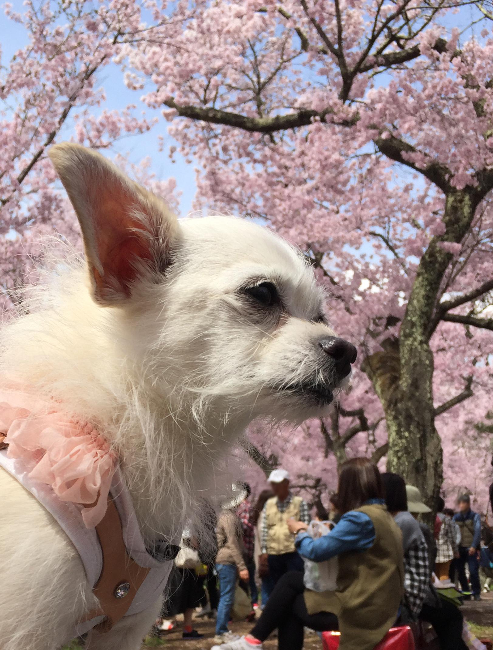 1704高遠桜とこゆ_02