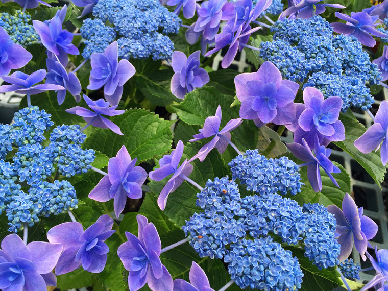 紫陽花-2
