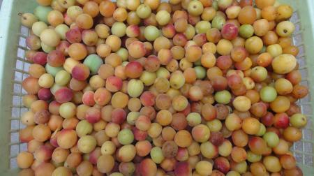 小梅の収穫