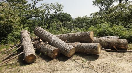 引っ張り出したイチョウの大木