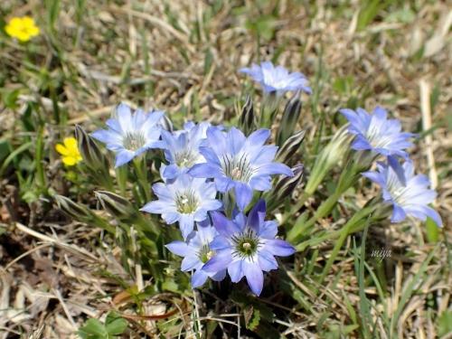 春竜胆mP4160048