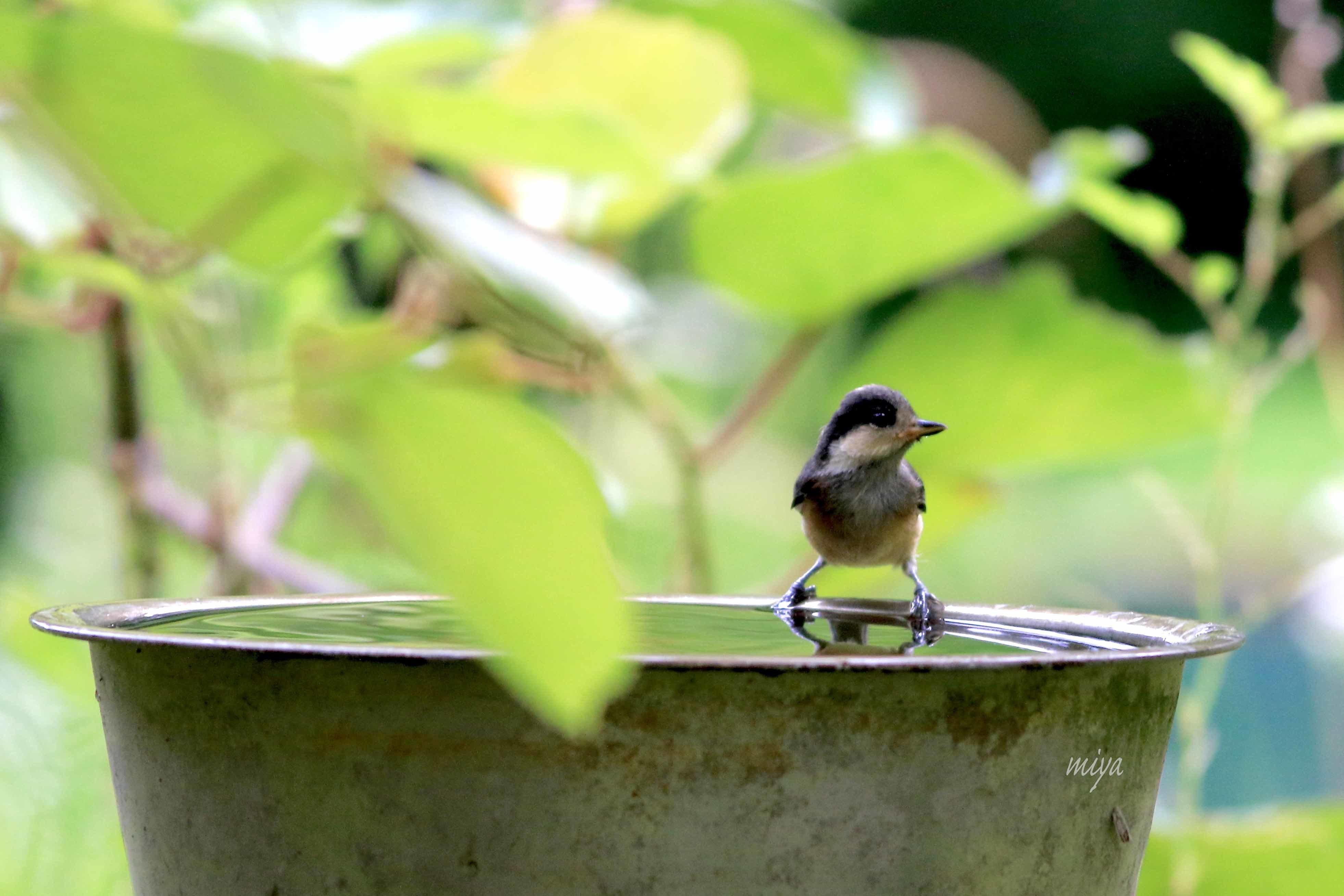 やまがら幼鳥水浴1995A0046