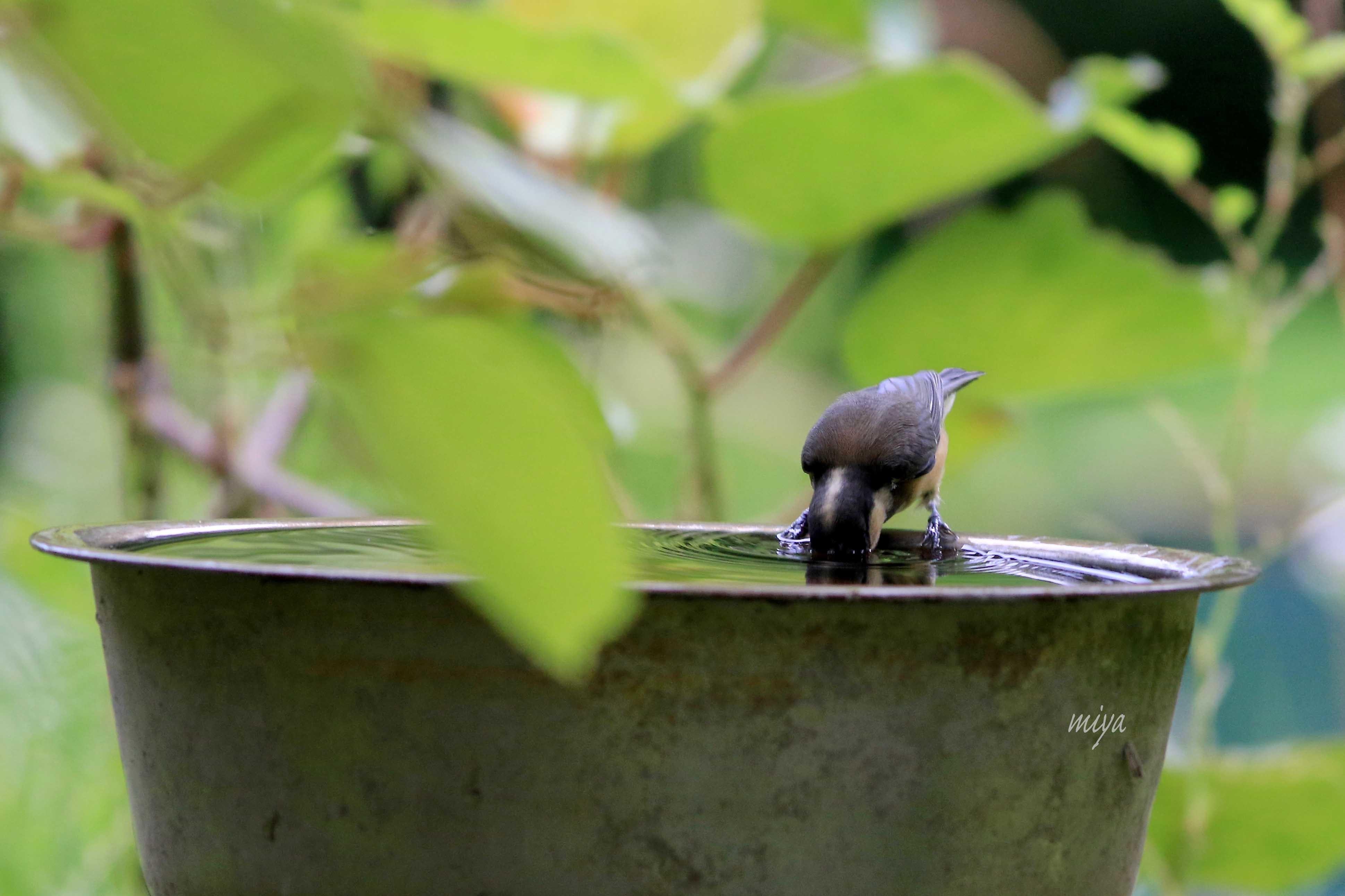 やまがら幼鳥水浴3995A0048