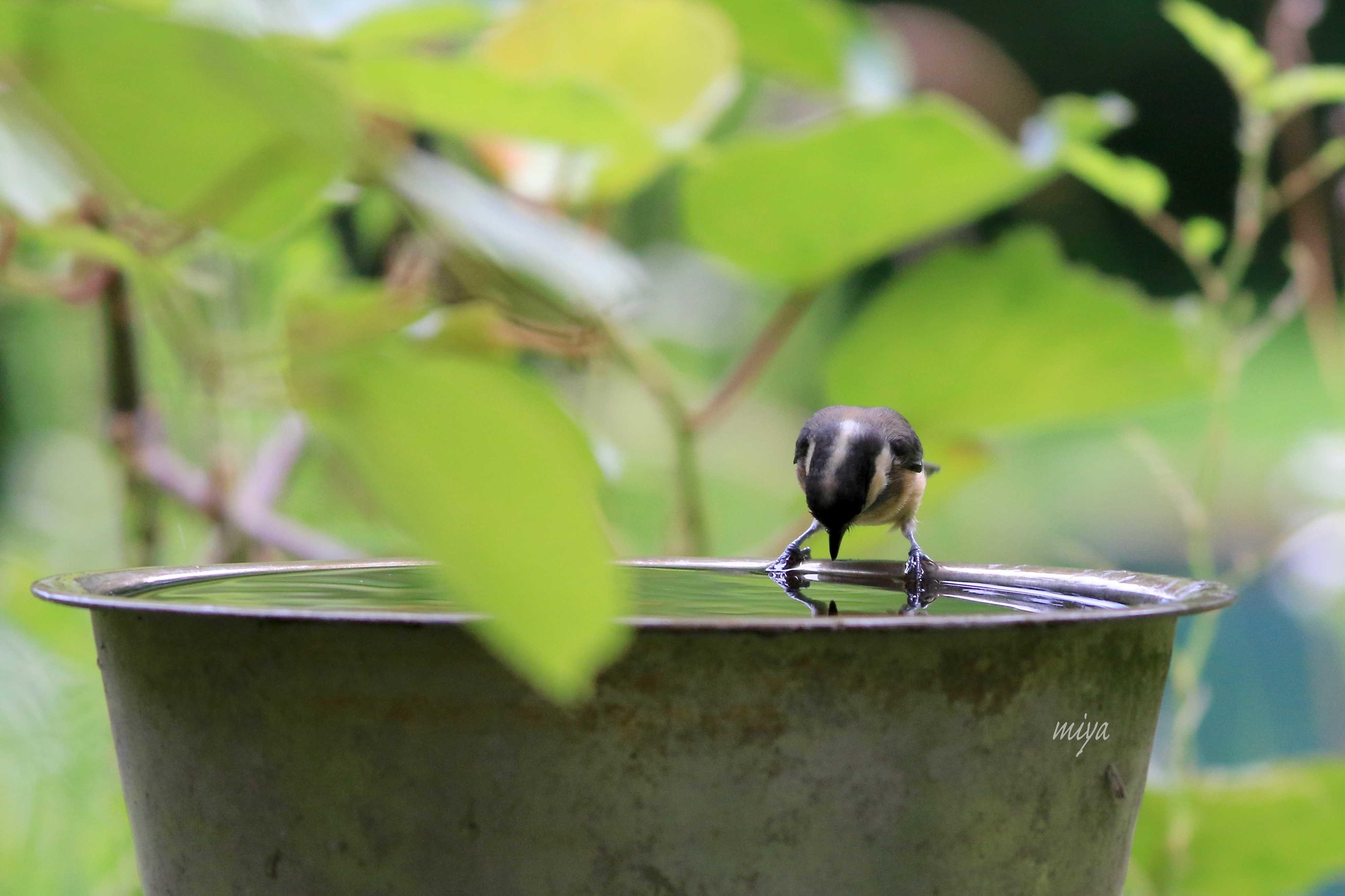 やまがら幼鳥水浴2995A0047
