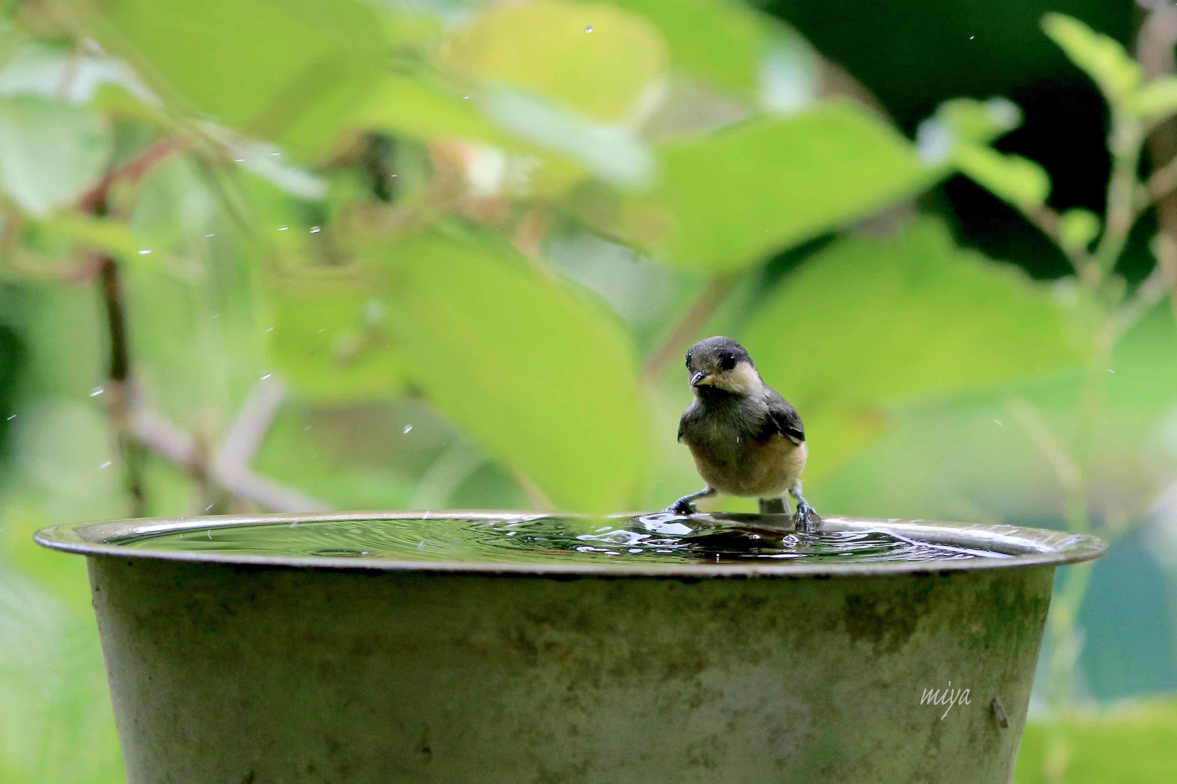 やまがら幼水浴び4995A0053