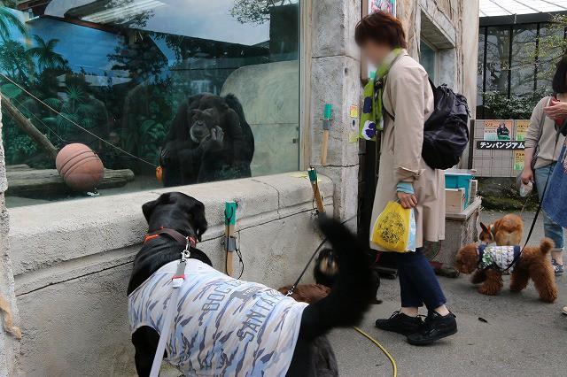 チンパンジーと対面