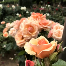 20170608_fragrant-apricot_2.jpg