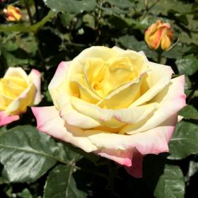20170723_izu_rose_002.png