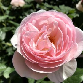 20170723_izu_rose_003.png