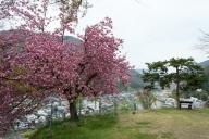 5月3日なのに、裏手の広場の八重桜は満開